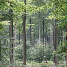Old-Growth Stand Of Beech Trees