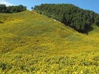 Bua Tong Fields