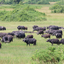 Buffaloes, Queen Elizabeth National Park