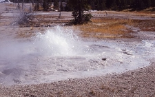 Bulger Geyser - Yellowstone - USA