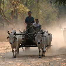 Bullock Cart - Myanmar