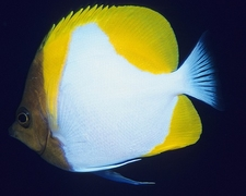 Butterfly Fish Off Rabaul - PNG