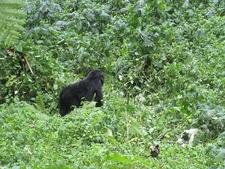 Bwindi Mountain Gorilla In Forest UG