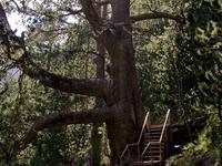 Baikushev's Pine