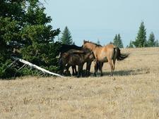 Baby Horse Pryor Mts
