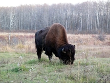 Bison In The Elk Island National Park