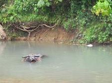 Bison At Caramoan River