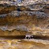 Wild Goats In Kirthar National Park