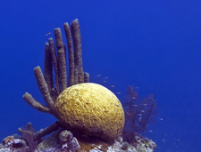 Brain Coral In The Great Blue Hole