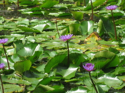 Blue Water Lillys From Pookote Lake Wayanad
