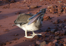 Brown Pelican On Island