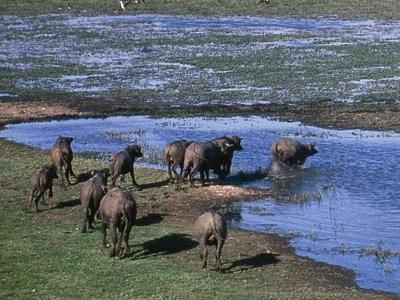 Water Buffalo In The Wetlands