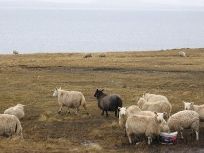 Burray  Sheeps