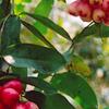 Cai seg Orchard