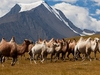 Camel Herd With Altai Mountains Landscape