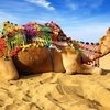 Camel Resting Near Bikaner - Rajasthan