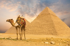 Camel With Pyramids At Giza