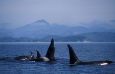 Killer Whales Of The Northern Resident Group