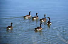 Canadian Geese On Upper Pahranagat Lake