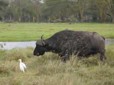 Cape Buffalo And Cattle Egrets