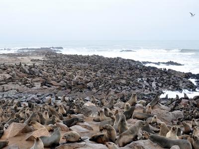 Cape Cross Fur Seals - Namibia