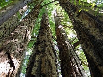 CA Redwoods SP