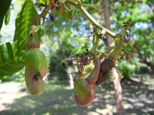 Cashew On Tree