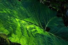 Catarata Del Toro Elephant Leaf Vegetation