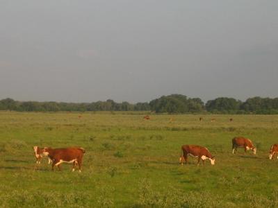 Cattle Near  Beeville