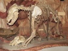 Cave Bear Skeleton In Hungarian Natural History Museum