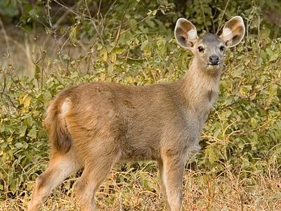 Chandoli National Park - Sambar