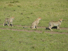 Cheetah Cubs Maasai Mara