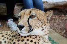 Cheetah @ Wellington Zoo NZ