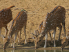 Cheetal Drinking Water