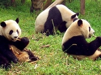 Sichuan Giant Panda Sanctuaries