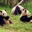 Sichuan Santuarios del panda gigante