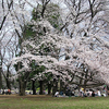 Cherry Blossoms In Kinuta Park
