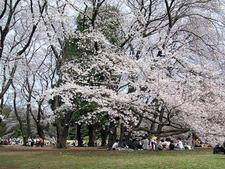 Cherry Blossoms In Kinuta Park