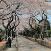 Cherry Trees Of Aoyama Cemetery