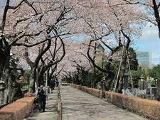 Cherry Trees Of Aoyama Cemetery