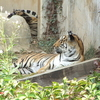 Childrens Grand Park Zoo Tigers