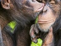 Chimpanzee Trekking At Gombe National Park