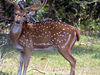Chital At Hastinapur Sanctuary