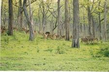 Chital Herd