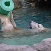 Cincinnati Zoo Polar Bear At Play