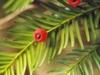 Cisy Na Górze Jawor Nature Reserve
