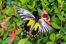 Common Birdwing - Borneo - Sabah