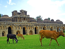 Cows Graze By The Elephant Stable