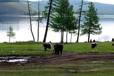 Cows Near Road & Lake