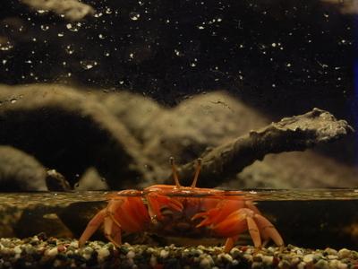 Crab Found In Wetland Indoor Aquarium
